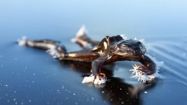 What Happens to Frogs in the Winter?