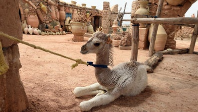 What Is a Baby Camel Called?