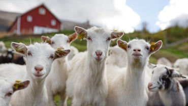 What Is a Baby Goat Called?