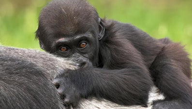 What Is a Baby Gorilla Called?