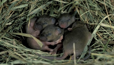 What Is a Baby Mouse Called?