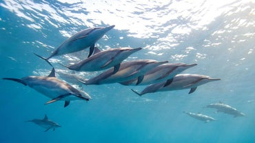 What Are Dolphins' Enemies?