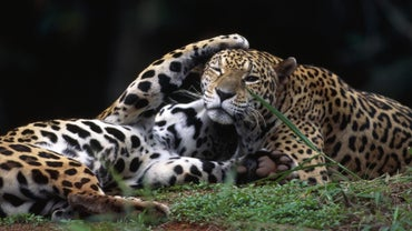 What Is A Female Jaguar Called