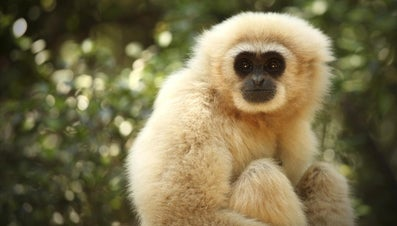 What Is a Gibbon?
