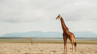 What Is the Natural Habitat of Giraffes?