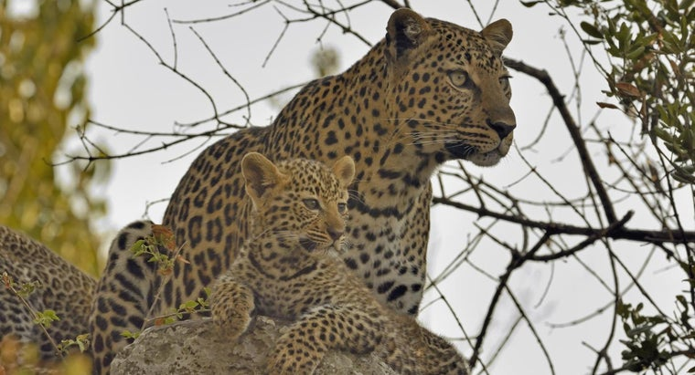 What Is a Group of Leopards Called?