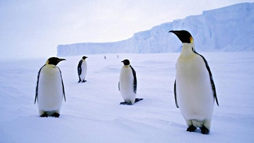 What Is a Group of Penguins Called?