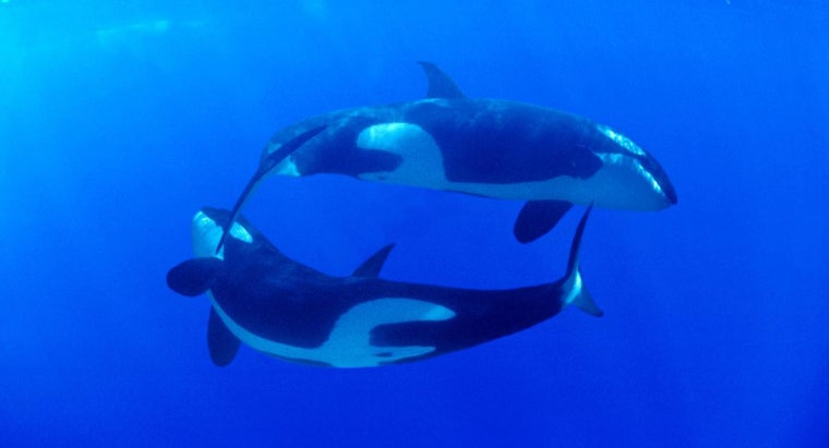 What Is the Killer Whale's Scientific Name?