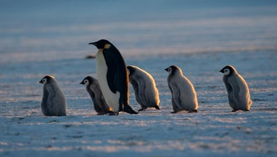What Is a Mother Penguin Called?