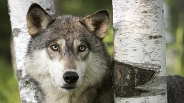 What Is Being Done to Save the Gray Wolf?