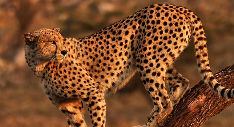 What Is the Cheetah's Habitat?