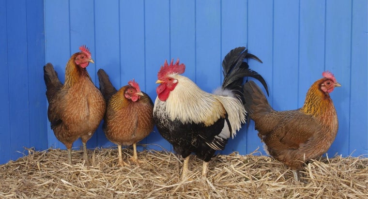 What Is the Difference Between a Hen and a Chicken?