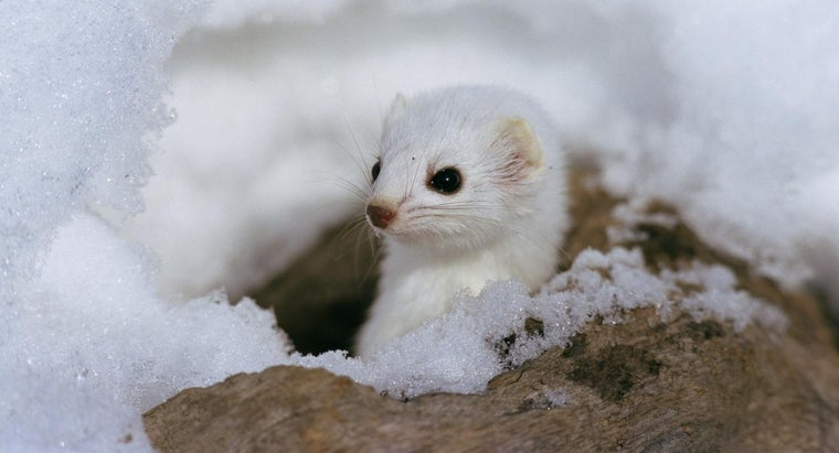 What Is the Difference Between a Stoat and a Weasel?