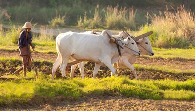 What Is the Difference Between an Ox and a Bull?