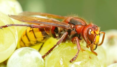 What Is the Difference Between Wasps and Hornets?