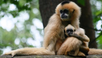 What Is the Gestation Period of a Monkey?