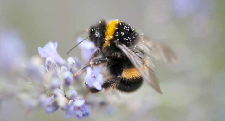 What Is the Life Span of a Bumble Bee?