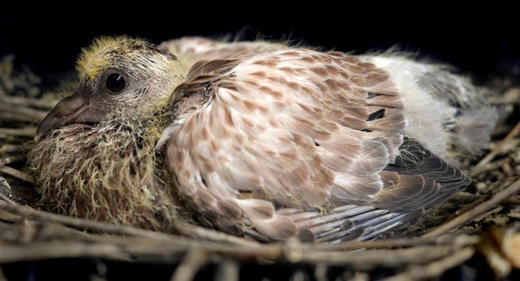 What Is the Name of a Baby Pigeon?