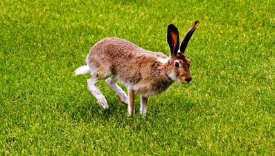 What Is the Name for a Hare's Tail?