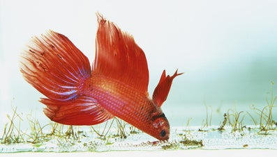What Kind of Fish Can I Put in With My Betta Fish?