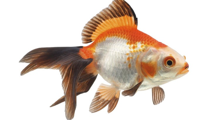 What Does It Mean When Goldfish Turn Black?