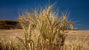 What Does a Wheat Plant Look Like?