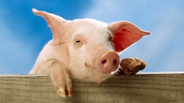 """Where Did the Term """"pig"""" for Police Come From?"""
