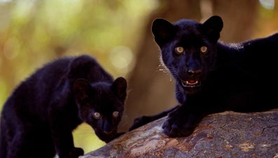Where Do Black Panthers Live?