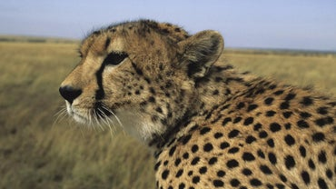 Where Does A Cheetah Live >> What Biome Does A Cheetah Live In Reference Com