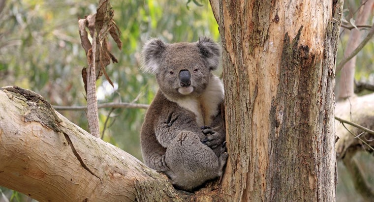 Where Do Koalas Live?
