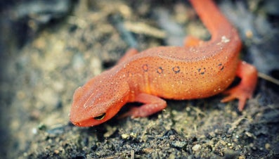 Where Do Newts Live?