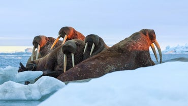 Where Do Walruses Live?