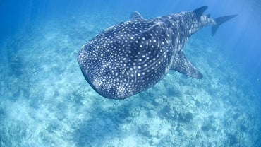 Where Do Whale Sharks Live?