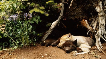 Where Do Wolves Sleep?