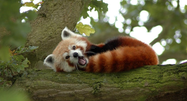 Where Does The Red Panda Live Reference