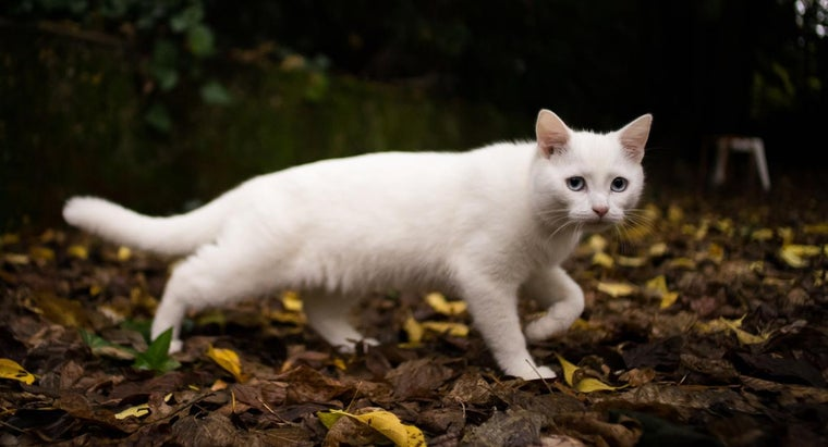 What Does a White Cat Symbolize?