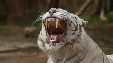 What Do White Tigers Eat?