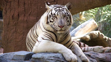 Why Are White Tigers Endangered?