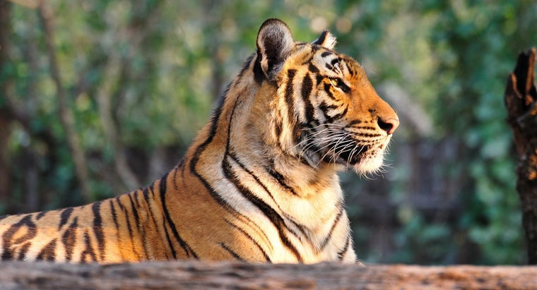 Why Are Tigers an Endangered Species?