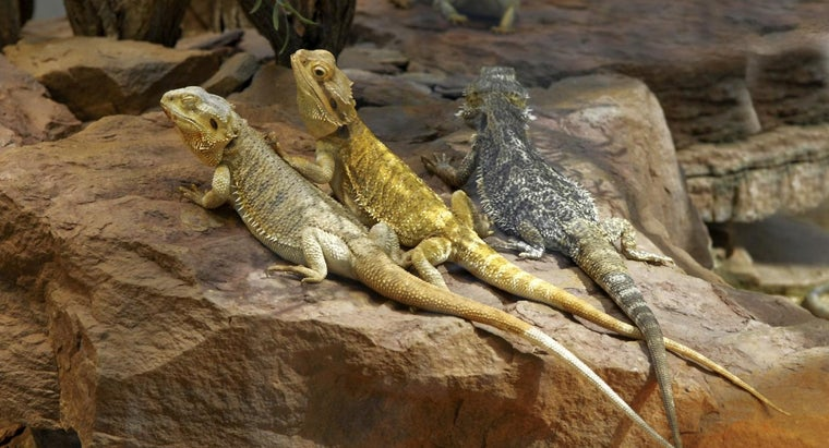 Why Do Bearded Dragons Turn Yellow?