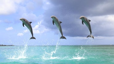 Why Do Dolphins Jump Out of the Water?
