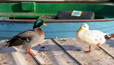 Why Do Ducks Stand on One Leg?