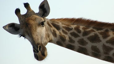 Why Do Giraffes Have Horns?