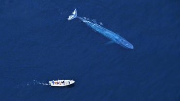 Why Do People Kill Blue Whales?