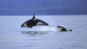 Why Do Whales Jump Out of the Water?