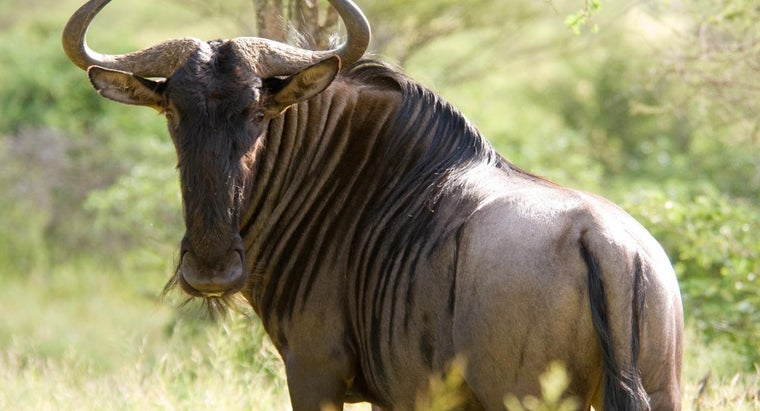 What Do Wildebeests Eat?