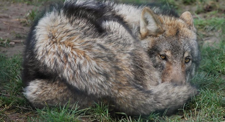 What Are Some Wolf Puns?