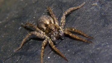 What Does a Wolf Spider Eat?