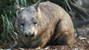 What Do Wombats Eat?