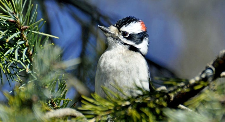 What Does A Woodpecker Eat
